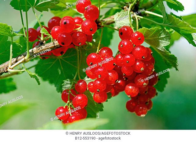 Redcurrant (Ribes rubrum)