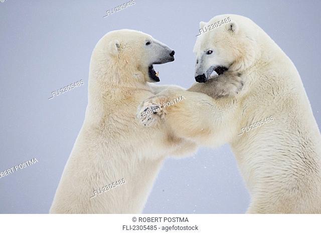 Polar Bears Play Fighting Along The Shores Of Hudson's Bay;Churchill Manitoba Canada