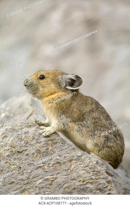 Pika, Ochotona princeps, among rocks of talus slope, Jasper National Park, Alberta, Canada