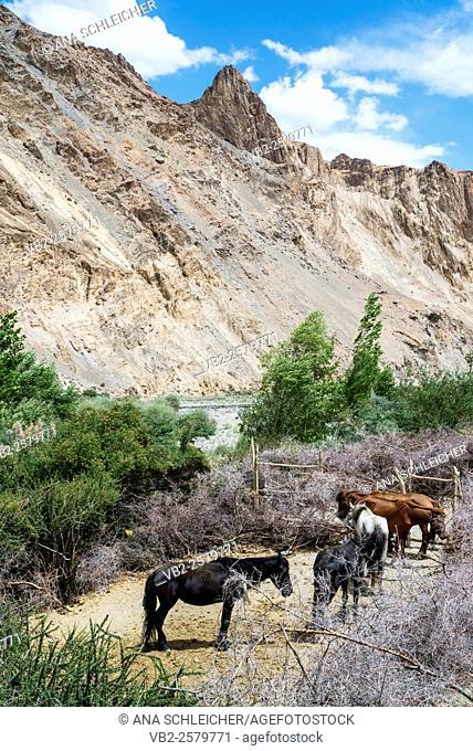 Trekking in Markha valley (Laddakh, India)
