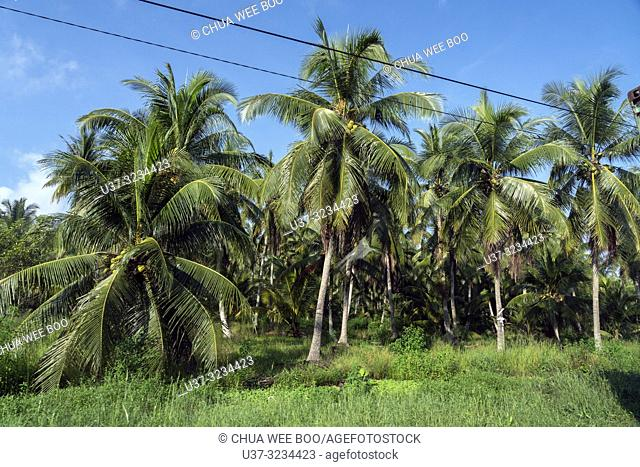 Coconut plantation at Selakau, West Kalimantan, Indonesia