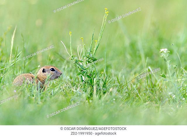 European Ground Squirrel (Spermophilus citellus) feeding. Central Balkan National Park. Bulgaria