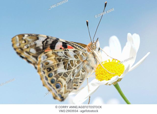 Painted Lady butterfly resting on a white daisy flower on a sky blue background - Fraser Valley, British Columbia Canada