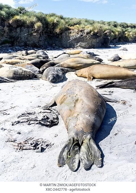 Southern elephant seal (Mirounga leonina), group of males on sandy beach. Bulls are social after the breeding season has finished and the harems are dissolved