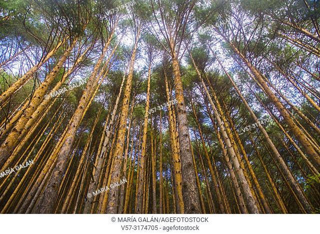 Pine forest. Montejo de la Sierra, Madrid province, Spain