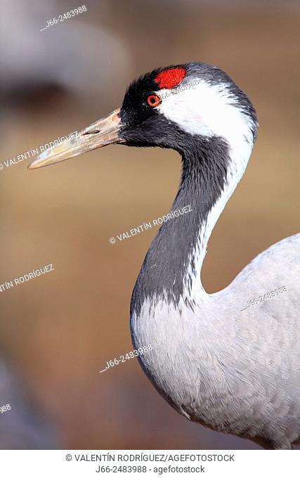 Crane (Grus grus) in the wildlife reserve Gallocanta. Zaragoza. Spain