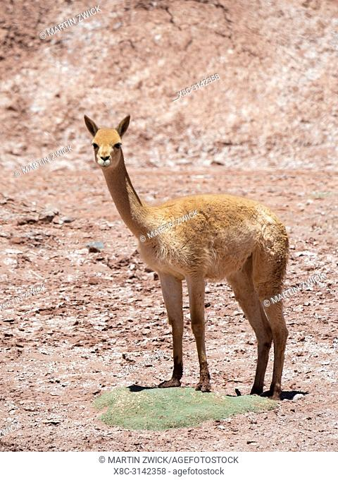 Vicuna (Vicugna vicugna) in the Altiplano of Argentina near Tolar Grande