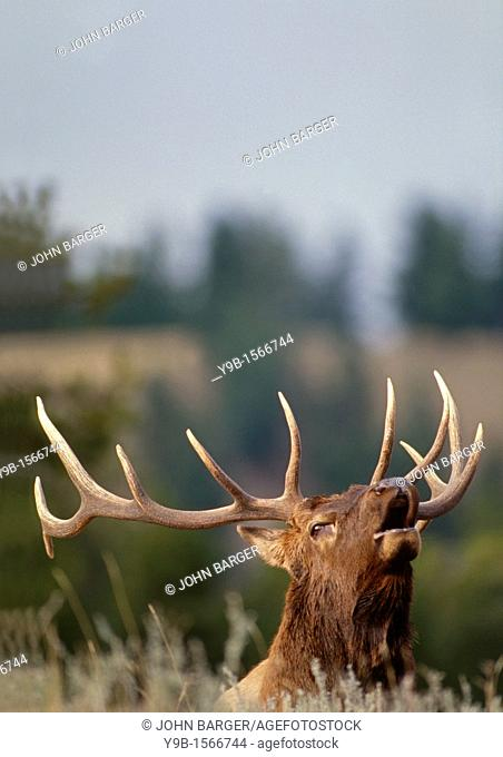 ROCKY MOUNTAIN ELK Cervus canadensis nelsonii bull bugling in fall, Yellowstone National Park, Wyoming, USA