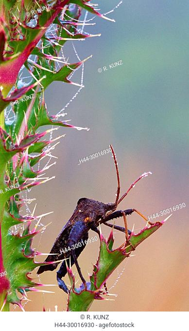 Bug, Bug spec., Hemiptera, insect, animal, thistle, spines, plant, dewdrops, silk of spider, Everglades National Park, Florida, USA