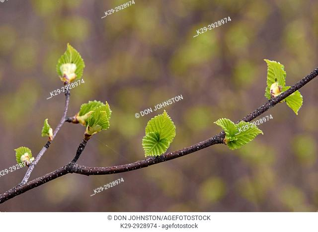White birch (Betula papyrifera) Emerging leaves along a twig, Greater Sudbury, Ontario, Canada