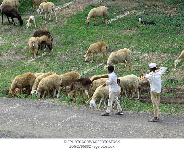 Indian shepherd with flock of sheep