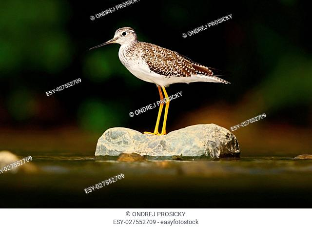 Water bird in the river