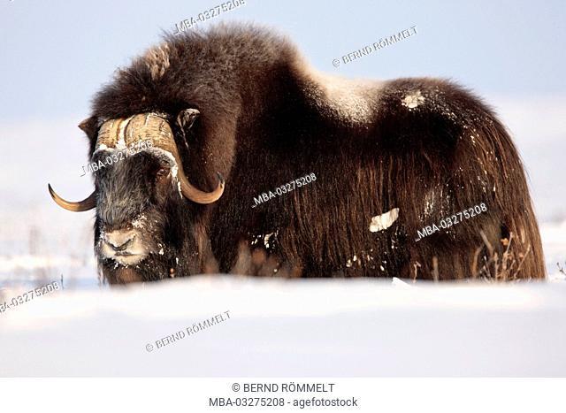 North America, the USA, Alaska, North Alaska, North Slope, musk ox, Ovibos moschatus