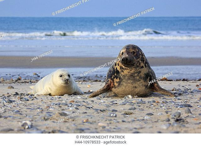2, Germany, Europe, Halichoerus grypus, Helgoland, dune, island, isle, grey seal, coast, Lanugo, sea, marine mammal, mother, mother animal, nature, newborn