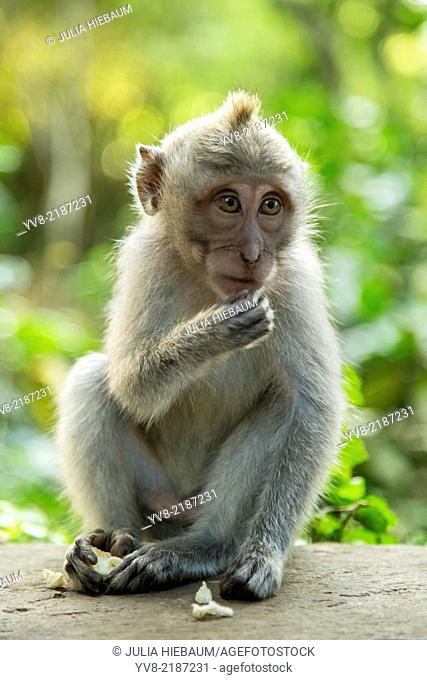 Baby long tailed macaque in ubud sacred monkey forest, Bali