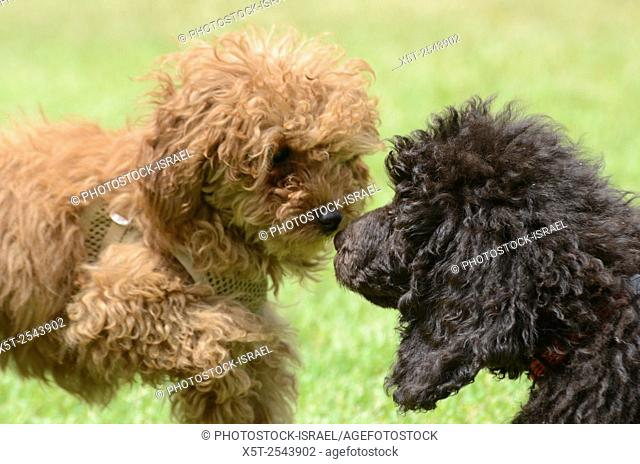 Two pedigree puppies black miniature poodle (Right) and Apricot Miniature Poodle (left) playing on the lawn