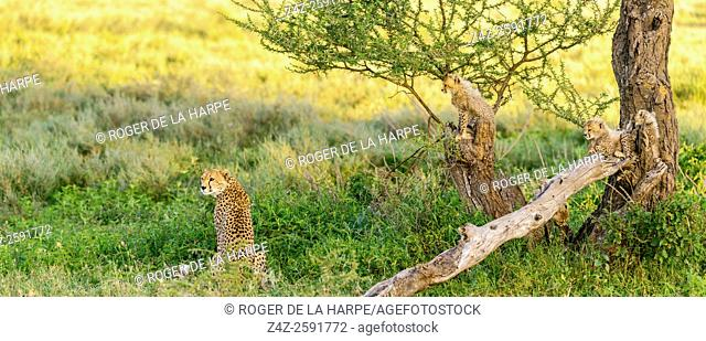 Cheetah (Acinonyx jubatus) female and cubs. Ngorongoro Conservation Area (NCA). Tanzania