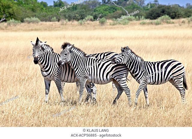 Zebras, equus quagga, Moremi National Park, Botswana, Africa