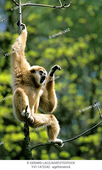 White-Handed Gibbon, hylobates lar, Male calling out