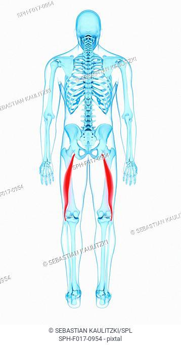 Illustration of the biceps femoris longus muscles
