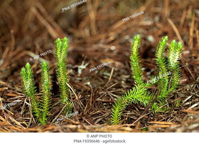 Fir Clubmoss Huperzia selago - National Park Dwingelderveld, Dwingelose Heide, Dwingeloo, Drenthe, The Netherlands, Holland, Europe