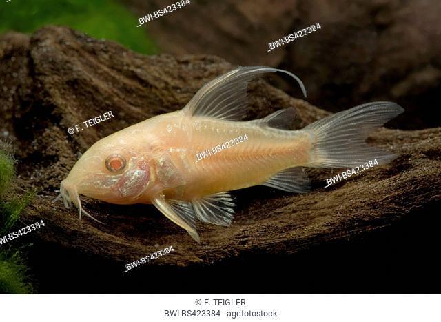 Corydoras catfish (Corydoras paleatus Albino Longfin), albino