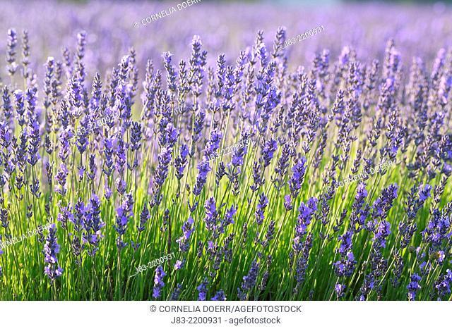 Lavender (Lavendula augustifolia), Valensole, Plateau de Valensole, Alpes-de-Haute-Provence, Provence-Alpes-Cote d'Azur, Provence, France