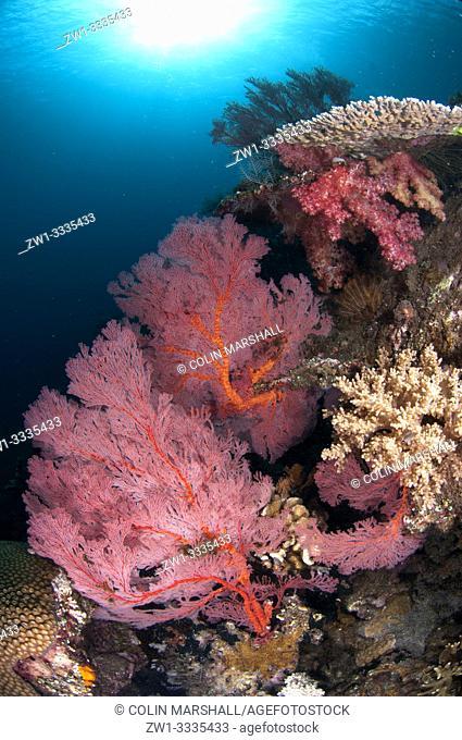 Sea Fan (Melithaea sp, Melithaeidae family) with sun in background, Caldera dive site, Komba Island, near Alor, Indonesia