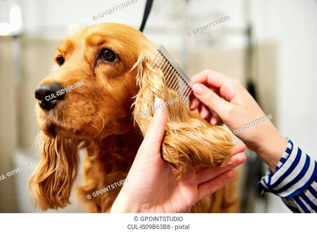 Hands of female groomer combing cocker spaniel's ear at dog grooming salon