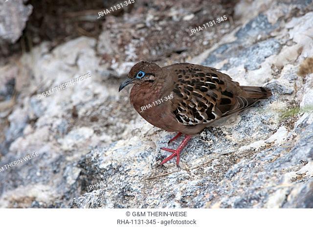 Galapagos dove (Zenaida galapagoensis), Genovesa Island, Galapagos, UNESCO World Heritage Site, Ecuador, South America