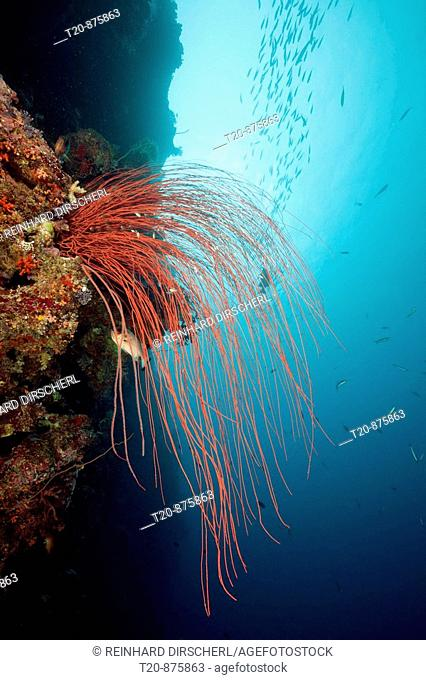 Red Whip Corals, Ellisella ceratophyta, Peleliu Wall, Micronesia, Palau