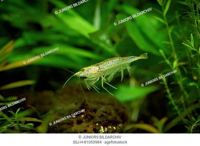 Japanese Shrimp, Yamato Shrimp (Caridina multidentata) in an aquarium