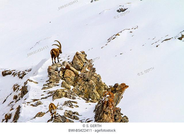 Alpine ibex (Capra ibex, Capra ibex ibex), two Alpine ibexes in the mountains on a snow-covered rocky ridge , Switzerland, Grisons, Engadine