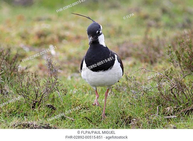 Northern Lapwing (Vanellus vanellus) adult male, breeding plumage, with one foot raised, standing at moorland edge, Swaledale, Yorkshire Dales N.P