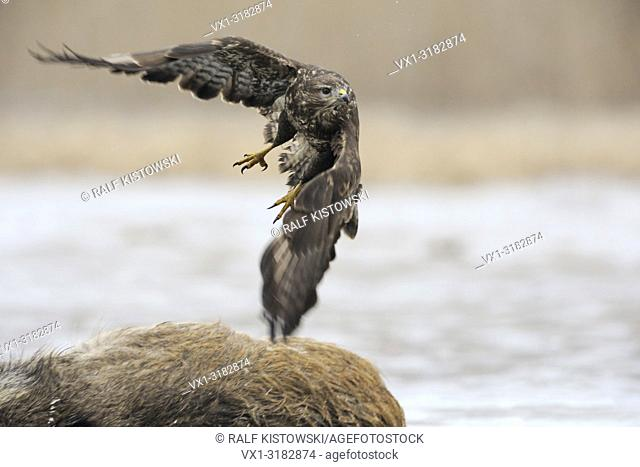 Common Buzzard / Buzzard (Buteo buteo) takes off from a carcass, where it was feeding before. .