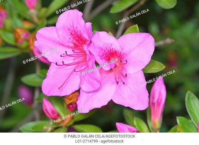Rhododendron (Rhododendron simsii)