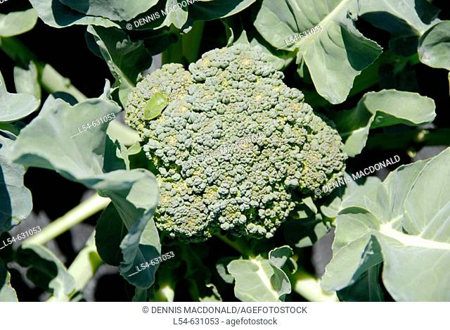 Broccoli Fresh Vegetable Produce and Fruit Truck Farming in Ruskin Florida Tampa Hillsborough County Gulf West Central. USA