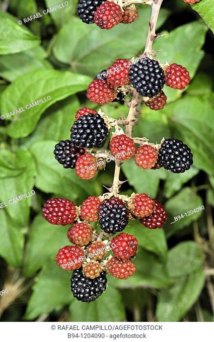 Blackberry (Rubus ulmifolius, fam. Rosaceae). Osseja, Languedoc-Roussillon, Pyrenees Orientales, France