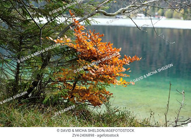 Landscape of a little European beech or common beech (Fagus sylvatica) beside a clear lake (Plansee) in autumn in Tirol, Austria