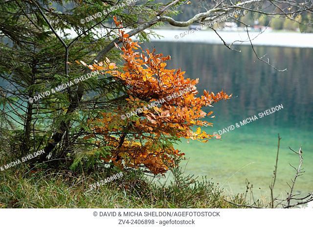 Landscape of a little European beech or common beech (Fagus sylvatica) beside a clear lake (Plansee) in autumn in Tirol, Austria