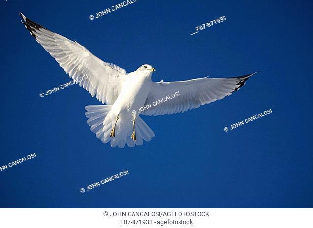 Ring-billed Gull (Larus delawarensis) soaring. New York, USA