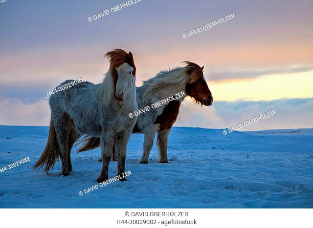 Evening mood, Europe, Island, Iceland horses, light mood, horses, snow, sundown, mammals, animals, volcano island, winter