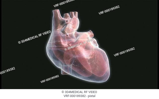 Animation depicting a rotation around a human heart as it beats. The heart is semi-transparent to reveal its internal structure