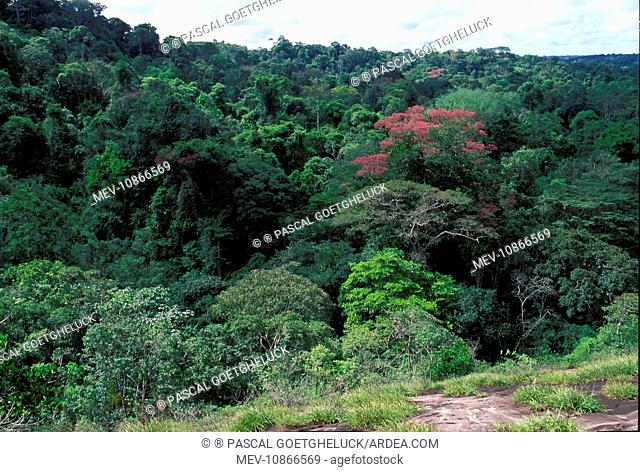 view of a forest (Couratari sp.). Guyana