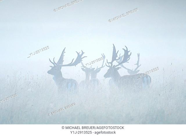 Fallow Deers (Cervus dama) on misty morning, Summer, Hesse, Germany, Europe
