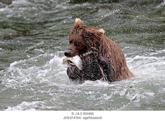 Grizzly Bear, (Ursus arctos horribilis), adult in water feeding on salmon , Brookes River, Katmai Nationalpark, Alaska, USA, North America