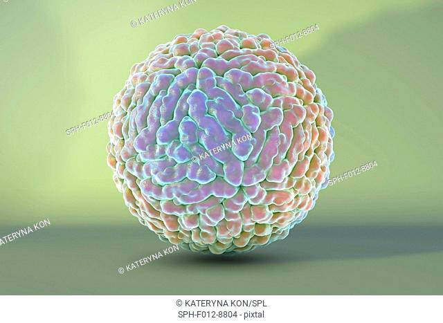 Zika virus, computer illustration. This is an RNA (ribonucleic acid) virus from the Flaviviridae family. It is transmitted to humans via the bite of an infected...