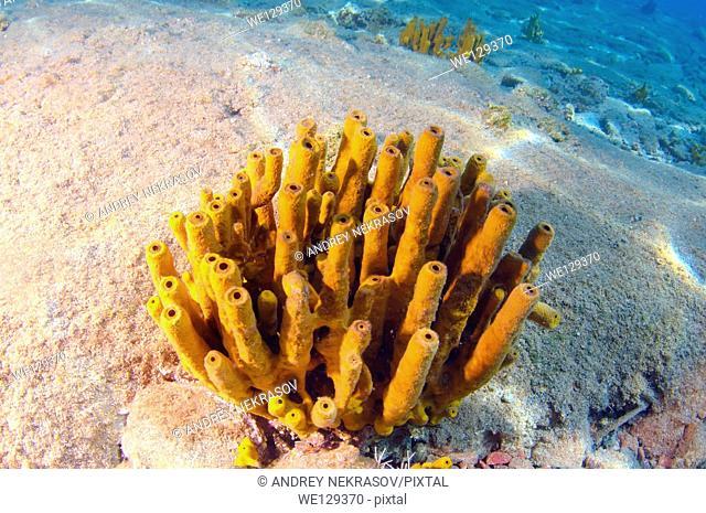 Sponge (Porifera), Cleopatra island, Aegean Sea, Turkey