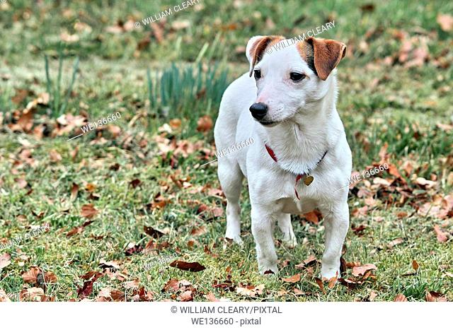 A young Jack Russell terrier