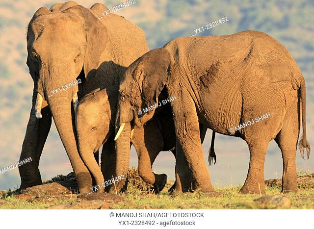 The sun has just risen and this elephant group have found some edible shoots to eat. They are removing the shoots with their trunks, Masai Mara National Reserve